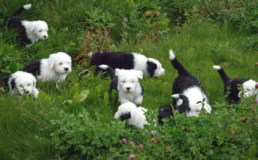 Old English Sheepdog valper i gresset