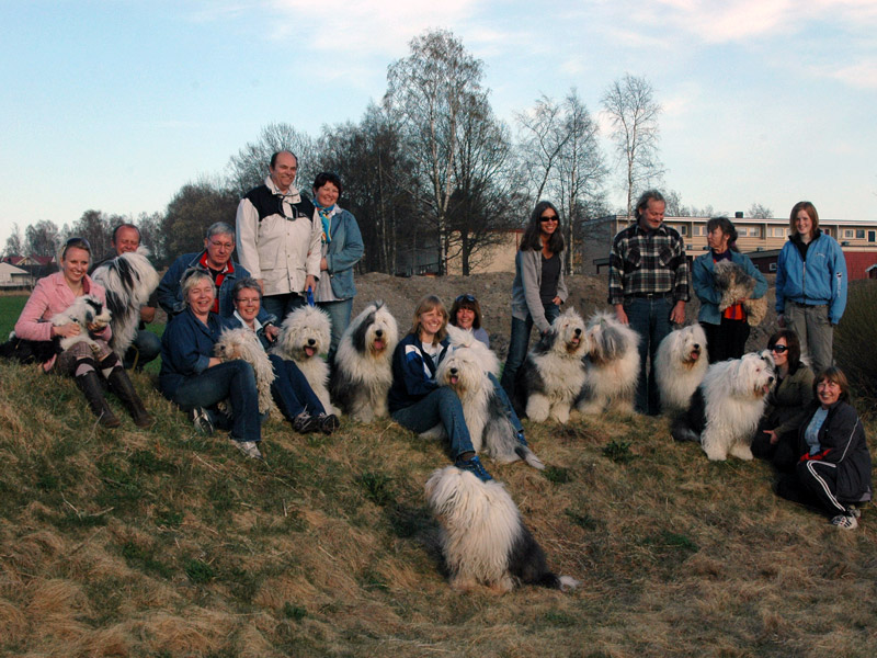 14 Old English Sheepdogs samlet til børstetreff.