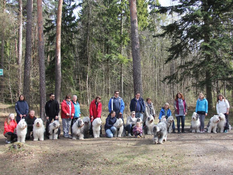 15 Old English Sheepdog på treff ved Huk på Bygdøy