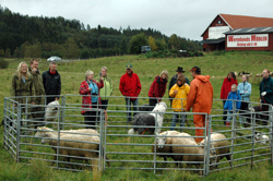 Har dagens Old English Sheepdog fortsatt gjeterinstinktene sine i behold?