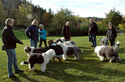 Old English Sheepdog treff i Vollen.