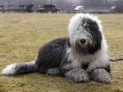 7 måneder gammel Old English Sheepdog.