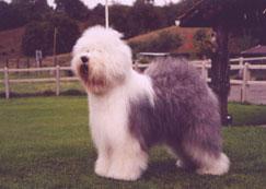En OES er en hund med mye herlig pels.