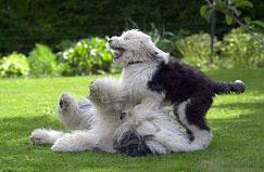 En OES egner seg svært godt som familiehund.