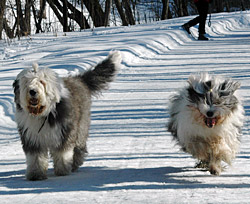 Glade Old English Sheepdog på tur.