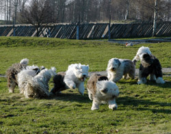 En helg med masse herlige Old English Sheepdogs.