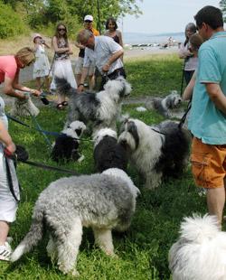 Old English Sheepdog treffet i Vollen samlet 20 hunder.