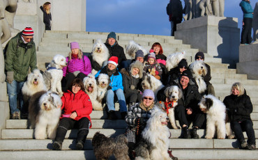 13 Old English Sheepdogs i Frognerparken