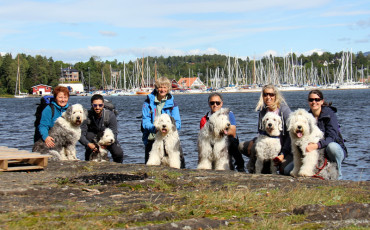6 Old English Sheepdog på treff på Kalvøya.