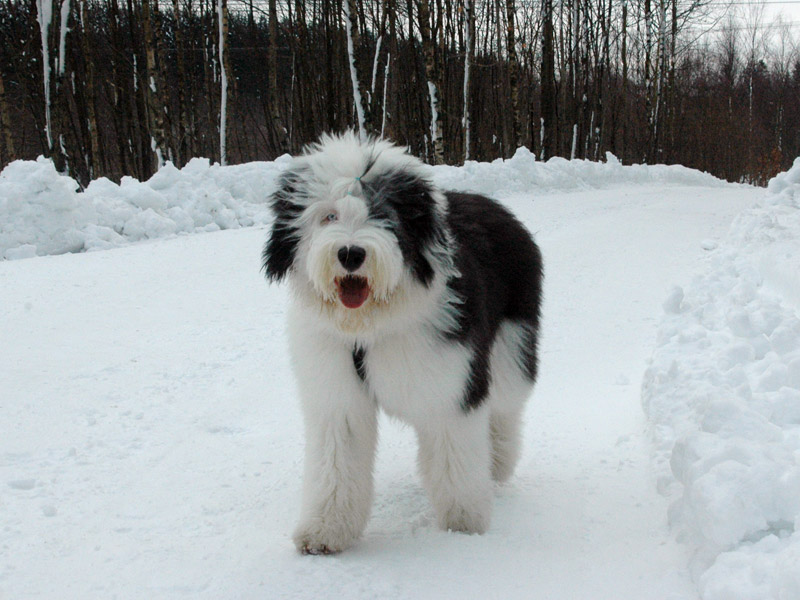 Old English Sheepdog valp