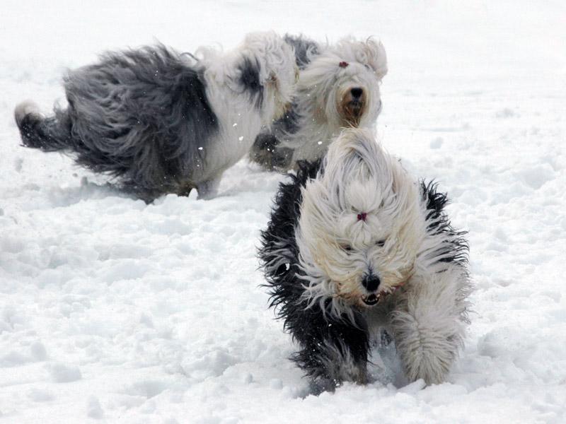 Lykkelige sheepdogs i snøen