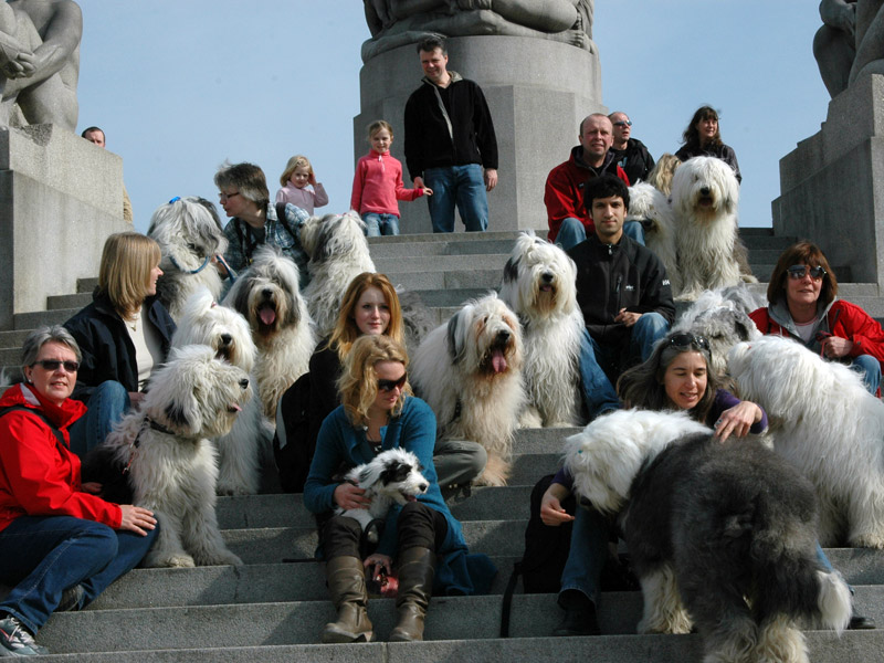 14 Old English Sheepdog møtte til treff i Frognerparken