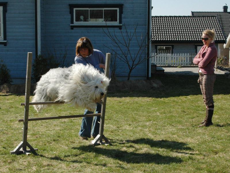 Foxy tester agilitybanen med høye hopp