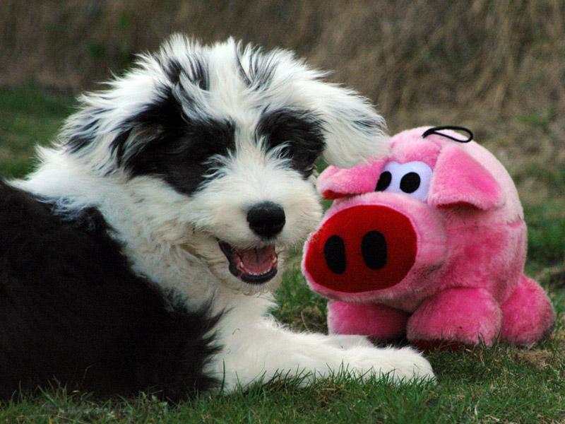 Valpelek med rosa gris.