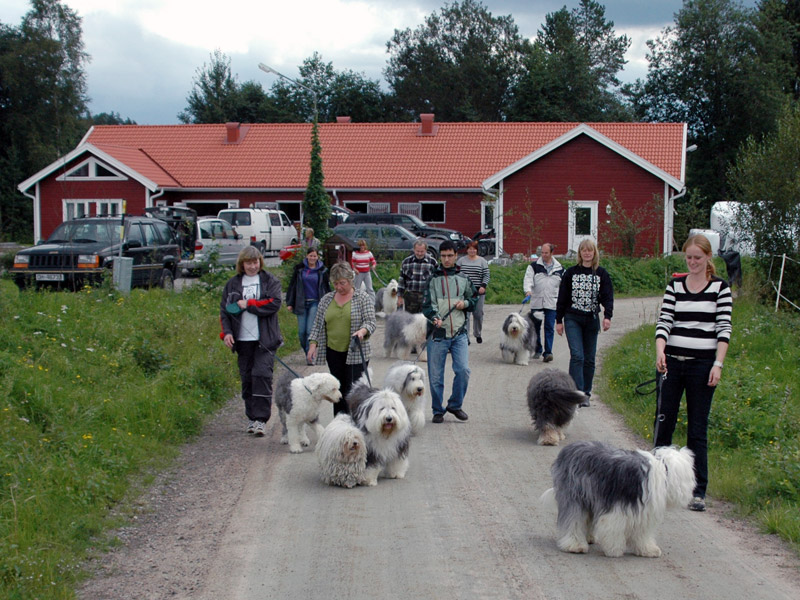 15 Old English Sheepdog samlet til treff i Årjäng.