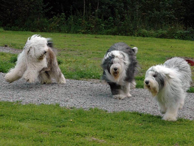 Sheepdog lek