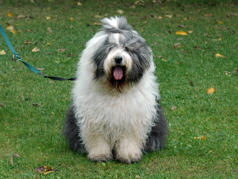 Cherie er en glad Old English Sheepdog.