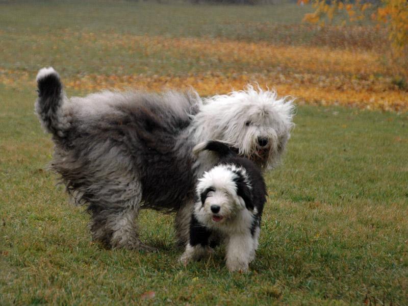 Sheepdogs i alle aldre på Ekeberg.