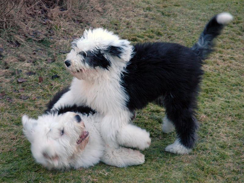 Obelix og Elvis