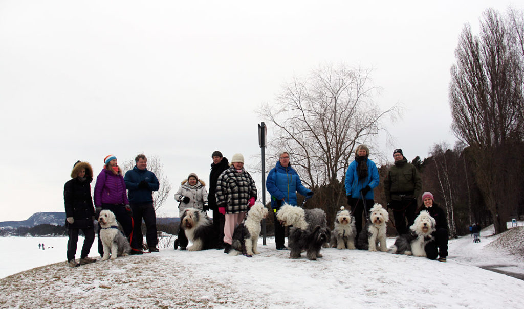 7 Old English Sheepdogs på Høvikodden