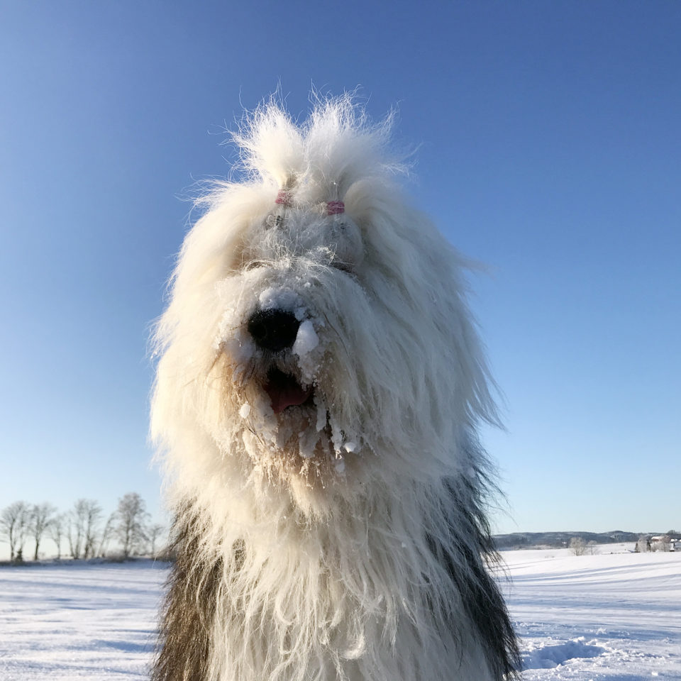 Old English Sheepdog Milla